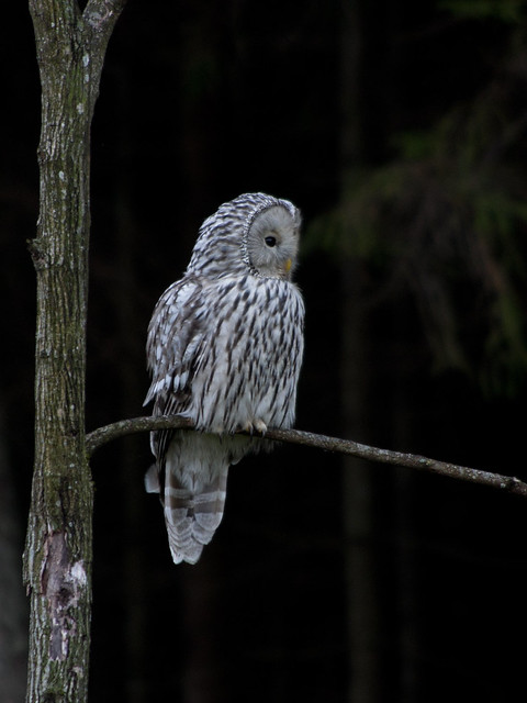 Flickr: Discussing Greater Sooty Owl - Tyto tenebricosa in ... - photo#45