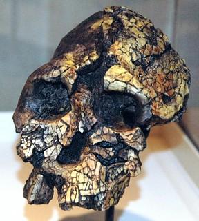 Kenyanthropus platyops fossil hominid (Nachukui Formation, Upper Pliocene, 3.3 to 3.5 Ma; Lomekwi, west of Lake Turkana, northern Kenya, eastern Africa) 1