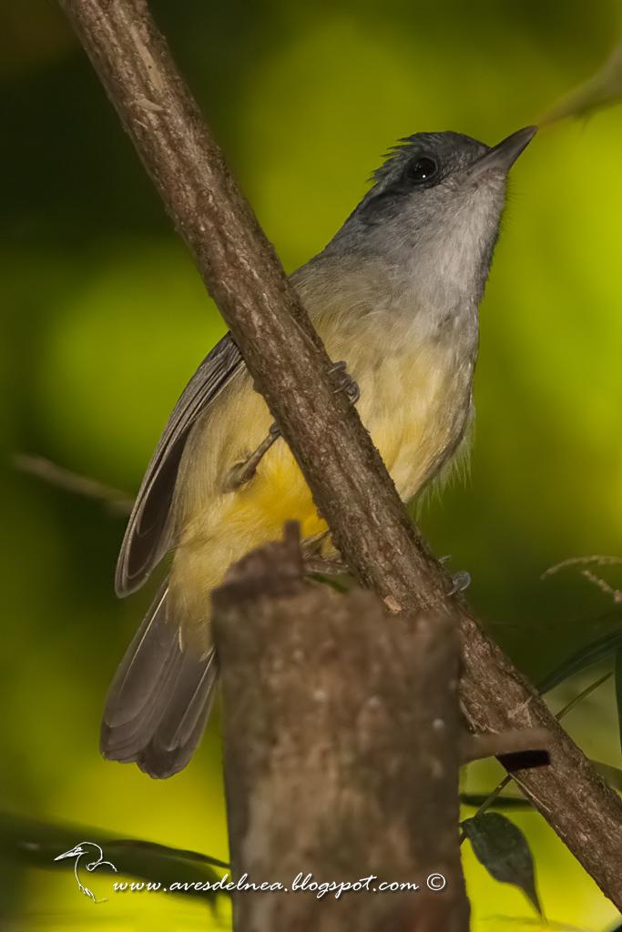 Choca amarilla (Plain Antvireo) Dysithamnus mentalis