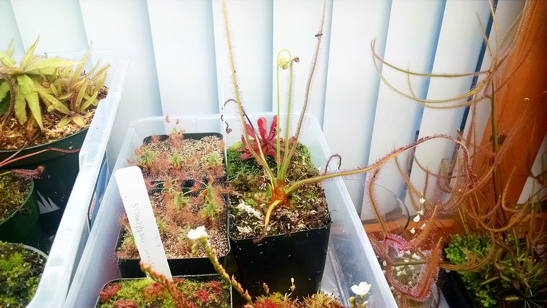 Drosera spiralis with flower stalk.