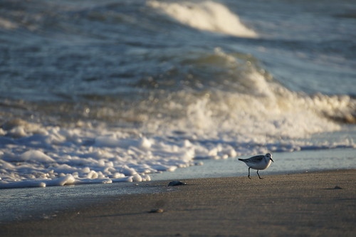 Sanderling, Assateague National Seashore