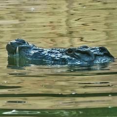 Gosht dekh kar #Eid par loog #Crocodile ban jate hain :D