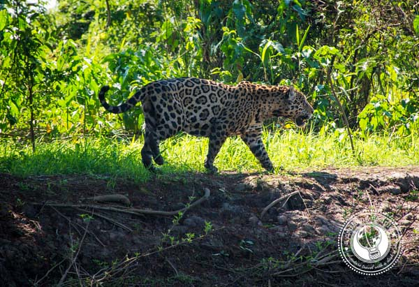 Pantanal Jaguar Walking in the Brazil