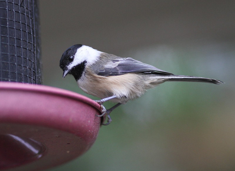 sweet chickadee3
