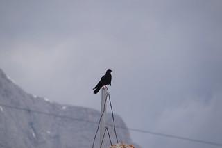 017 Alpenkauw