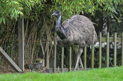Großer Emu im Zoo de La Flèche