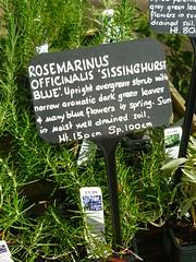 Rosmarinus officinalis ´Sissinghurst blue´