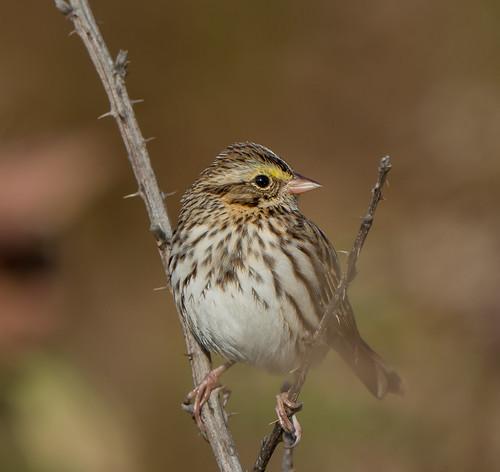 sparrow bird maryland savannahsparrow bonniecoatesott