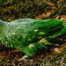 Small photo of Amazona farinosa