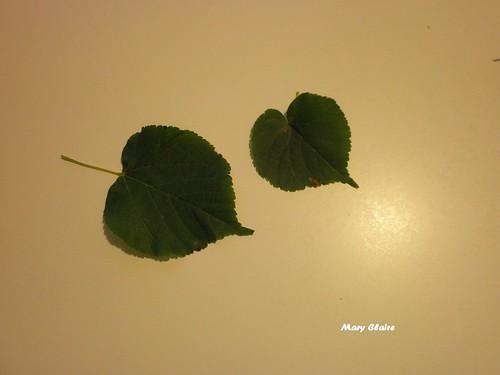foglie tiglio