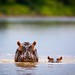 Hippo Mum and Baby by Will Burrard-Lucas | Wildlife