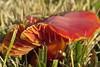 Rare Poppy