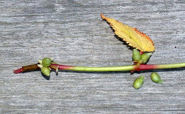 Begonia grandis bulbils