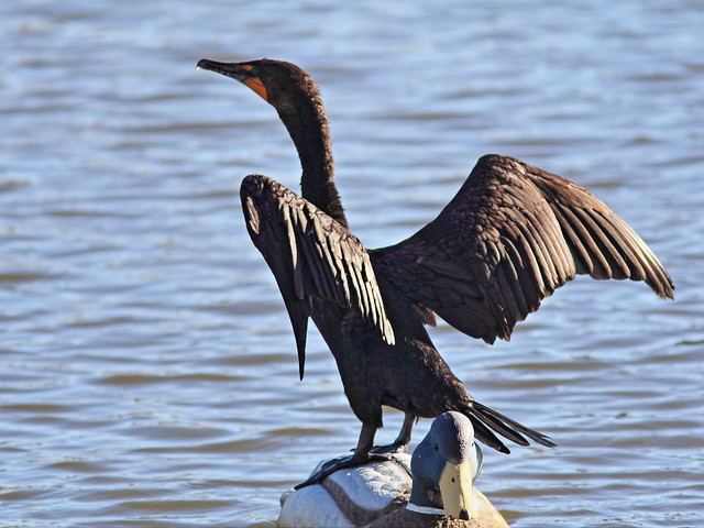 Double-crested Cormorant 1-20141028