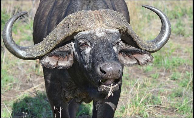 African Buffalo.