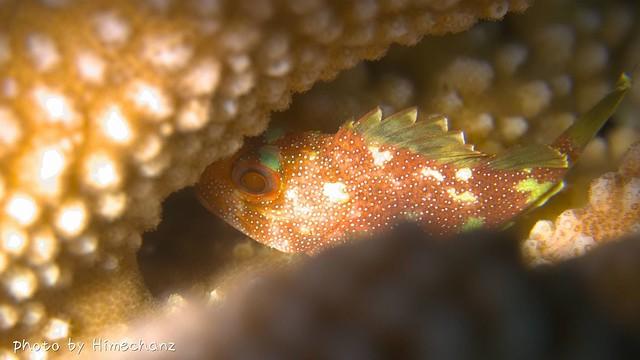 カスリフサカサゴ幼魚♪