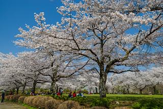 左右奥行き感ある綺麗な桜@羊山公園