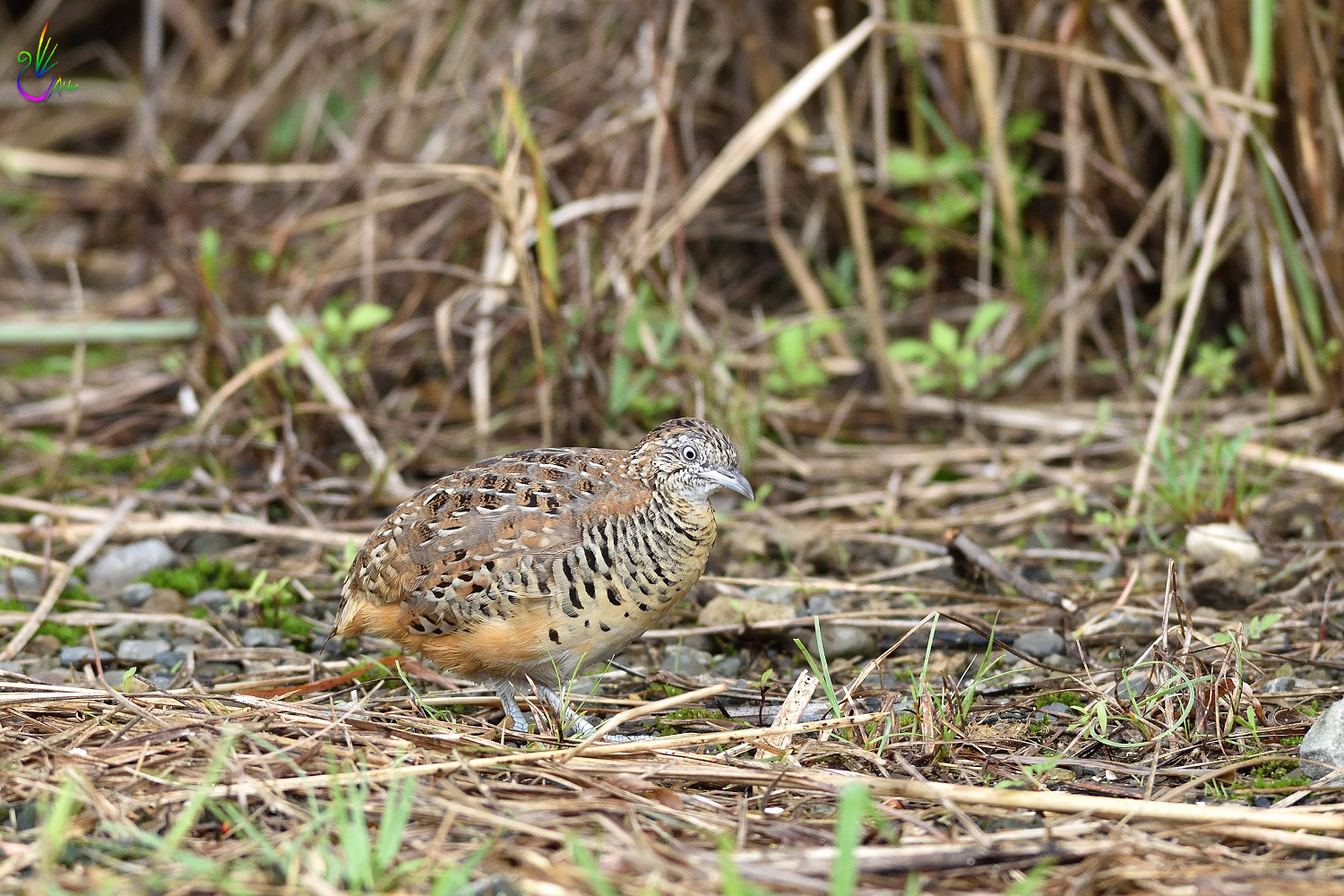 Barred_Buttonquail_7144