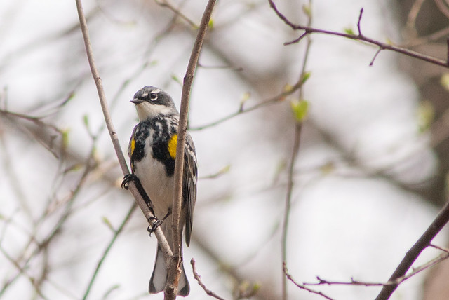 Yellow-rumped Warbler, Nikon D200, AF Zoom-Nikkor 75-300mm f/4.5-5.6