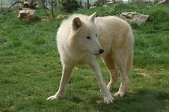 Loup blanc d'Arctique
