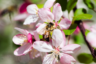 Apple blossom time...