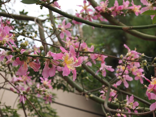 Flowering Now: Silk Floss Tree (Ceiba speciosa)