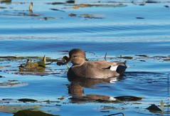 gadwall to see y'all