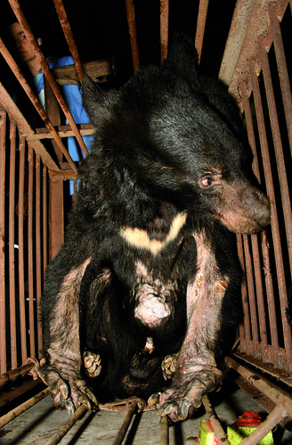 Moon bear Jasper before his rescue by Animals Asia