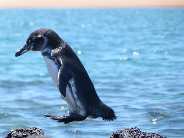 Pingüino de Galápagos
