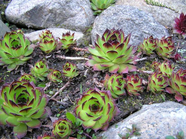 Sempervivum tectorum cultivar