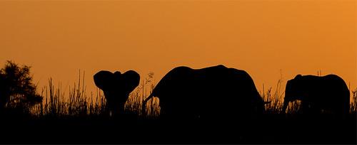 africa sunset nature animals tiere sonnenuntergang sundown wildlife natur zimbabwe afrika elefant mammals allrightsreserved africanelephant herbivore simbabwe bigfive manapools loxodontaafricana säugetier elephantidae pflanzenfresser chikwenya zambezivalley thomasretterath copyrightthomasretterath