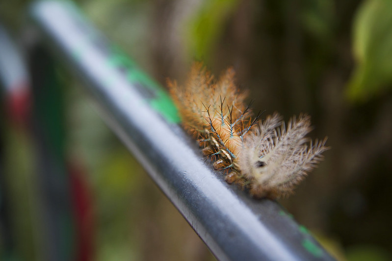 Costa Rica Caterpillar