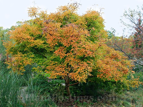 three flower maple