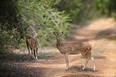 Spotted Deer. Wilpattu, Sri Lanka (11 Oct 2014)