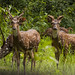 The Chital or the Spotted Deer (Axis axis), by Salim Abdulla