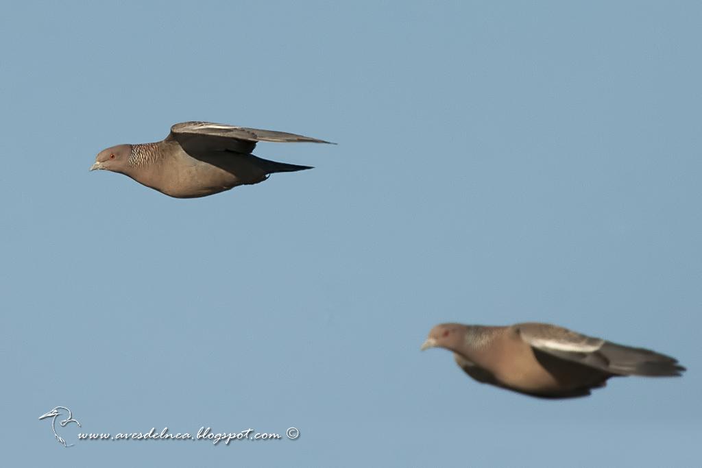 Paloma picazuró (Picazuro Pigeon) Patagioenas picazuro