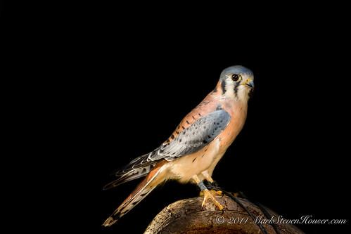 Puck the American Kestrel (1 of 1)