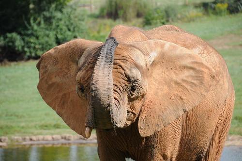 Afrian elephant, zoo