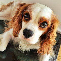 dog breed, animal, dog, welsh springer spaniel, pet, mammal, king charles spaniel, spaniel, cavalier king charles spaniel,