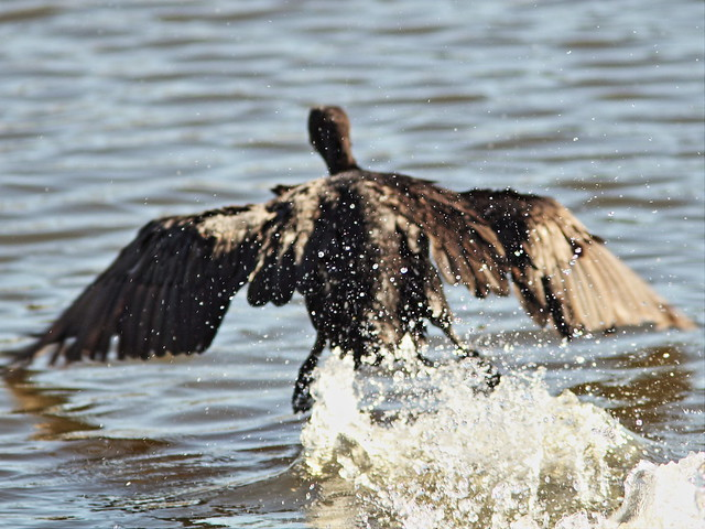 Double-crested Cormorant 3-20141028