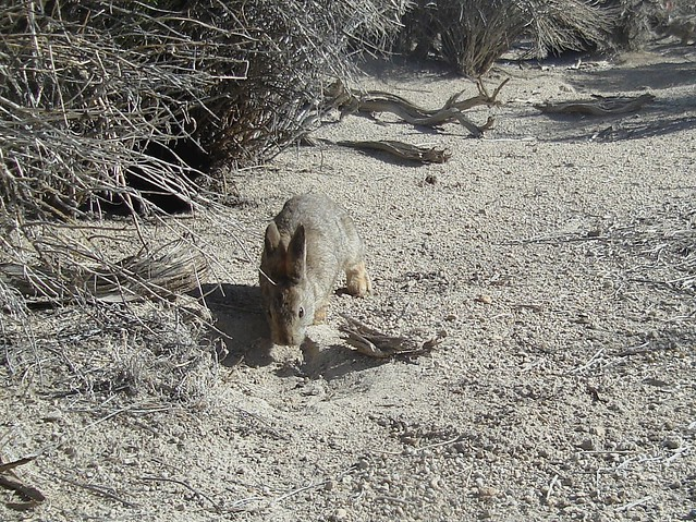 sniffing pygmy rab