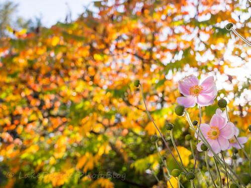 湖水地方 イギリス 自然 秋 秋明菊