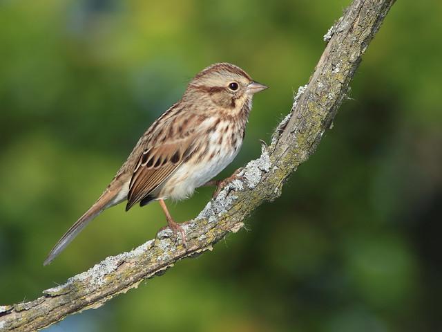 Song Sparrow 04-20141008