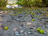 Fruits decorating the mangrove swamp floor
