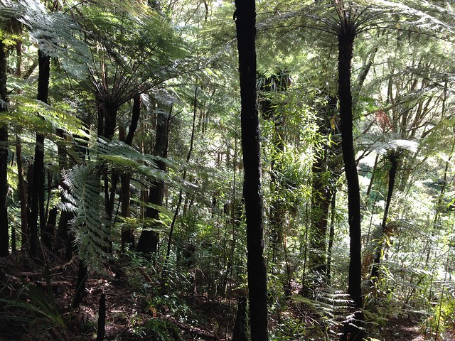 Pukenui Forest, gully tree ferns