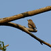 Asian Brown Flycatcher / 寬嘴鶲 (Muscicapa dauurica)