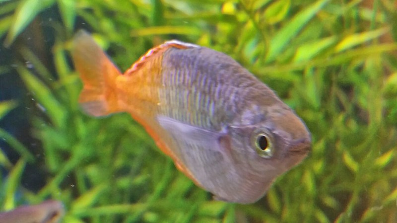how to take care of platy fry