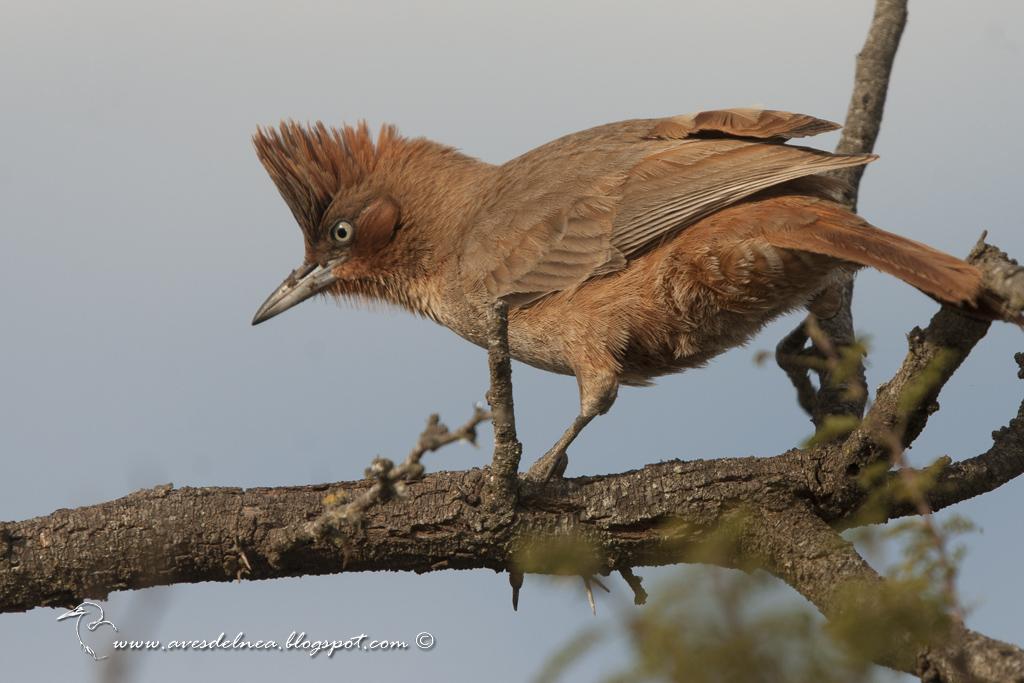 Cacholote castaño (Brown Cacholote) Pseudoseisura lophotes