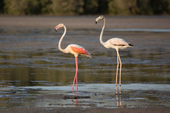 Emirati Flamingoes