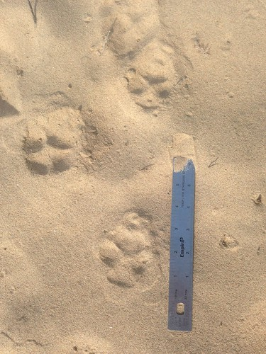 Coyote Tracks - 1